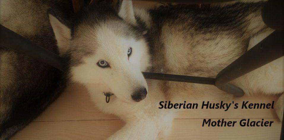 Siberian Husky's Kennel Mother Glacier